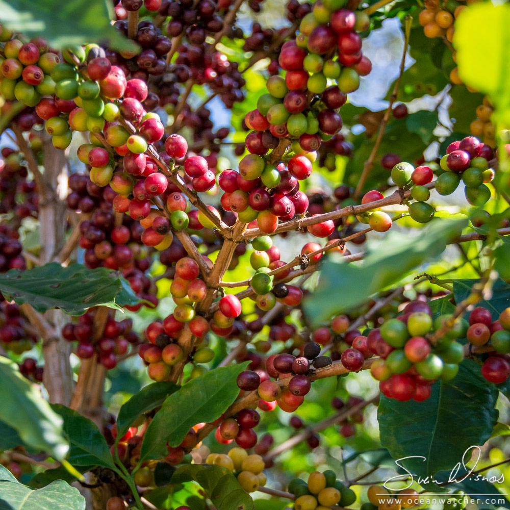 Coffe tree with cherries